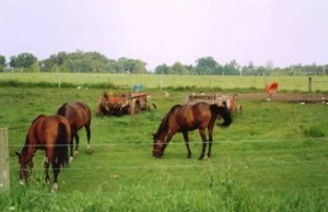 Horses on Amish Farm